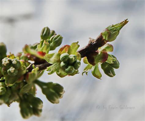 Baum Pflanzen Kaufen 414 by Knospen Vom Kirschbaum Foto Bild Pflanzen Pilze