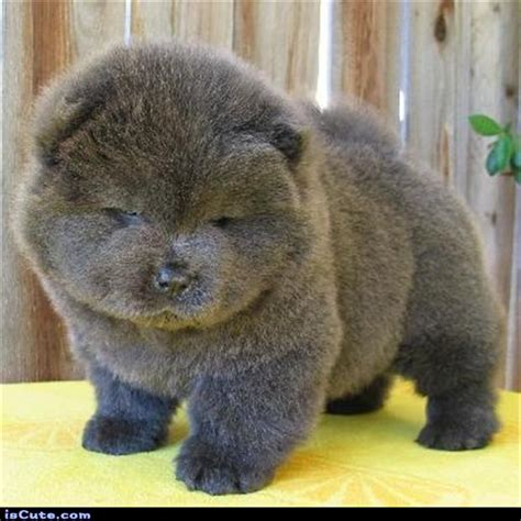 puffball puppy puff puppy iscute