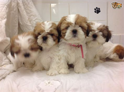 shih tzu puppies for sale in scotland shih tzu puppies scotland cumnock ayrshire pets4homes