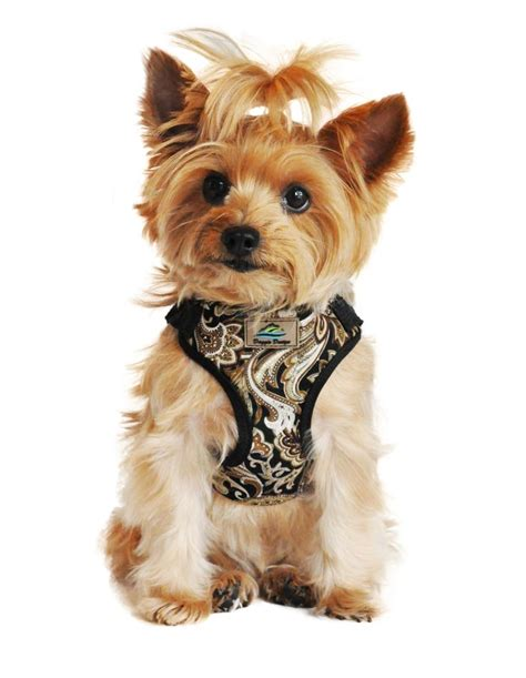 how to put a harness on a yorkie 735 best images about yorkie on yorkie puppies for sale
