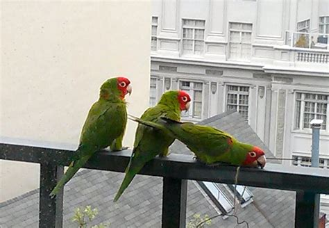 a visit from san francisco s wild parrots