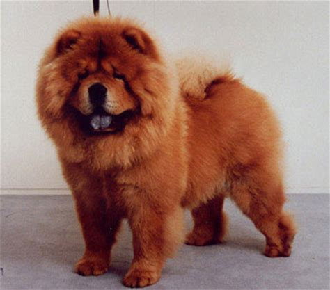 how much are chow chow puppies chow puppies breeds picture