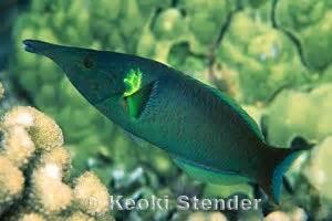 bird wrasse gomphosus varius fish profile bird wrasse gomphosus varius fish profile