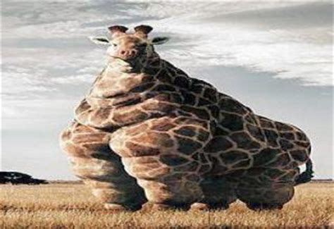 fattest in the world fattest giraffe in the world