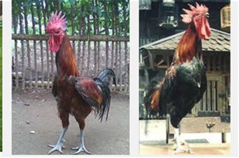 Bibit Ayam Pelung ciri bibit ayam pelung yang bagus kualitas kontes situs