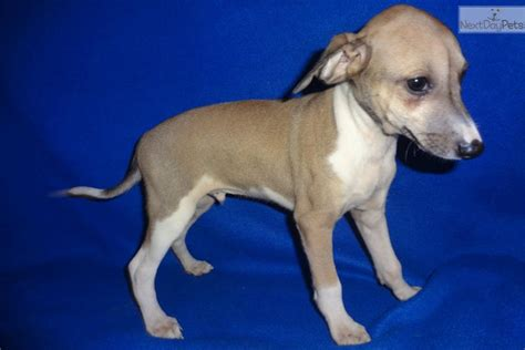 greyhound puppies for adoption italian greyhound puppy for sale near springfield missouri 7faf51fd 2f91