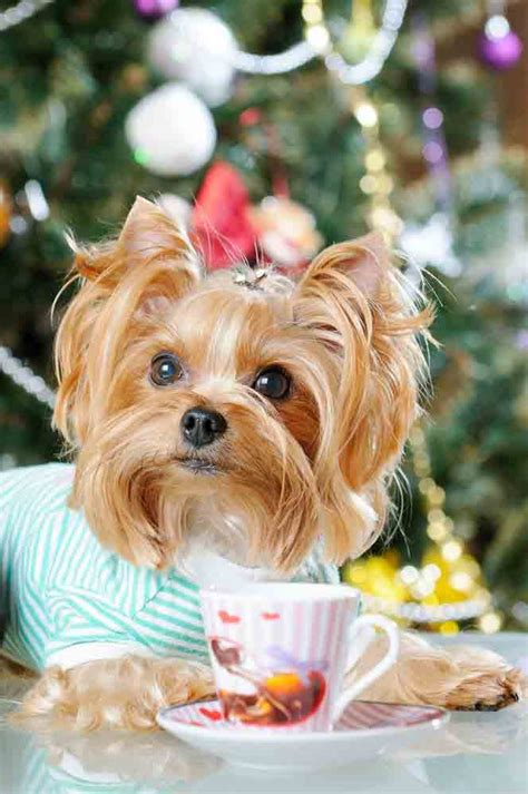 unique yorkie names unique yorkie names that fit this breed