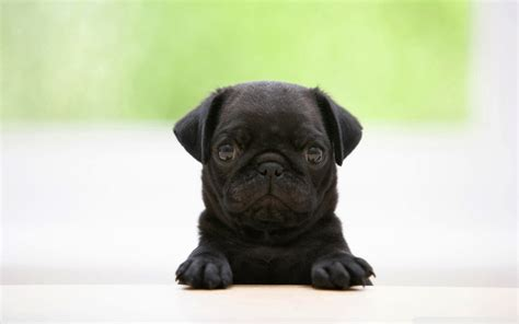 pug images in hd pug puppies wallpaper hd 25 desktop background