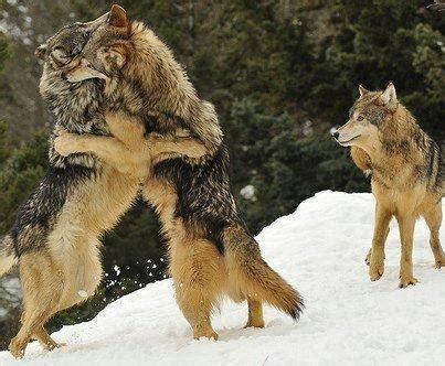 136 best wolves my love images on pinterest | wild