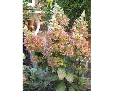 Bambus Pflanzen Sichtschutz 780 by Hortensien Pflanzen Preisvergleiche Erfahrungsberichte