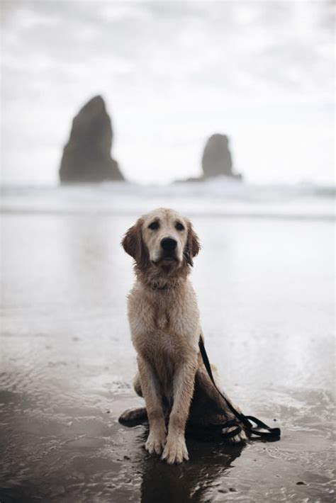 golden retriever oregon golden retrievers beaches and oregon on