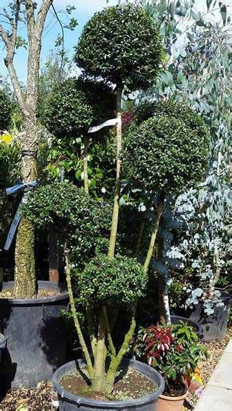 ligustrum topiary trees plants trees and shrubs costing up to 163 250 uk