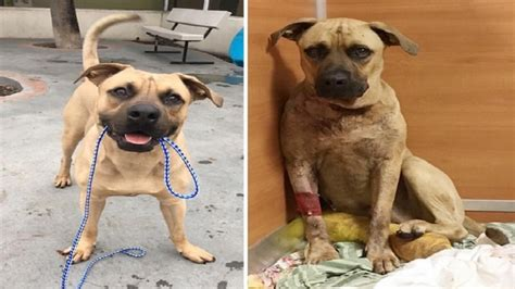 dog house miami gardens dog recovering after being shot twice by miami gardens police