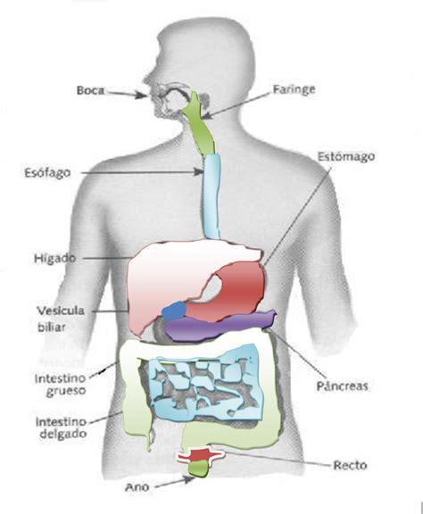 aparato digestivo esquema del sistema digestivo related keywords esquema