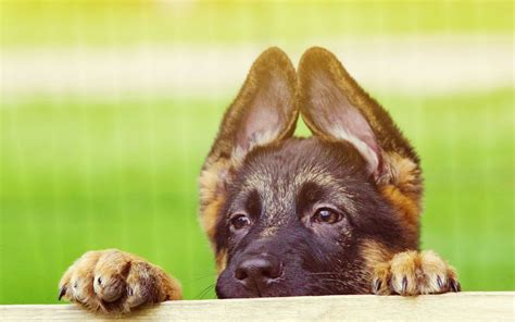 adorable german shepherd puppy german shepherd puppies wallpaper high definition high quality widescreen