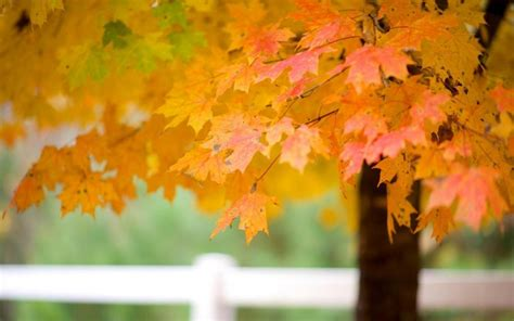 wallpaper daun maple pohon maple daun musim gugur alam hd wallpaper desktop