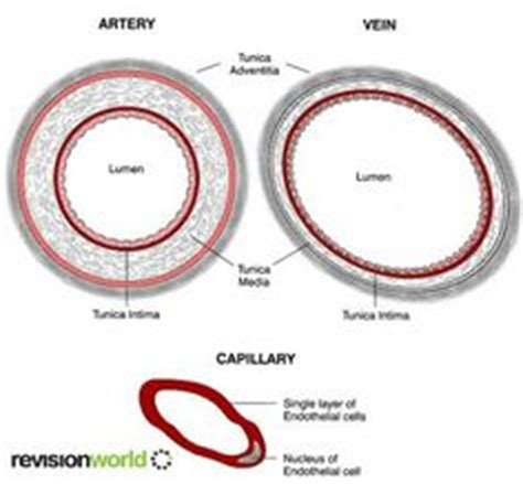blood vessels on phlebotomy blood and anatomy