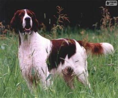 setter reddish dog crossword clue dogs puzzles jigsaw 5