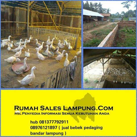 Karpet Bulu Bandar Lung jual bebek pedaging murah di bandar lung www