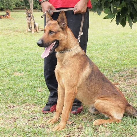 belgian dogs malinois images