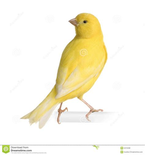 canaries bird yellow stock photos yellow canary serinus canaria on its perch royalty free