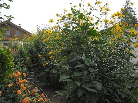 Topinambur Garten Pflanzen by Topinambur Alte Gem 252 Sesorte Und Bl 252 Hender Sichtschutz In