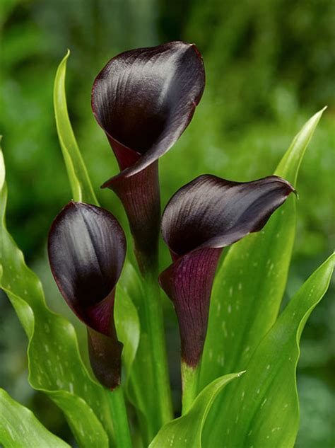 buy calla lily zantedeschia odessa pbr delivery by crocus
