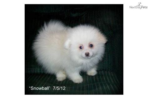 snowball pomeranian meet snowball a pomeranian puppy for sale for 500 snowball beautiful white