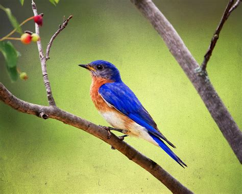 eastern bluebird by al mueller