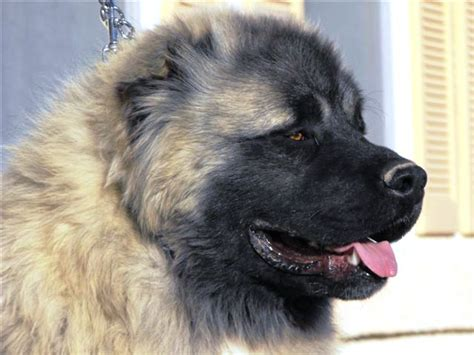 ovcharka puppies for sale in usa caucasian guard dogs for sale us breeds picture