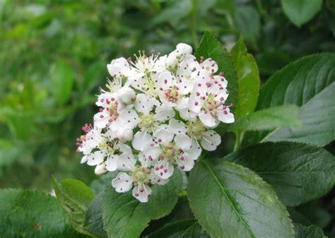 arbusto con fiori violacei a
