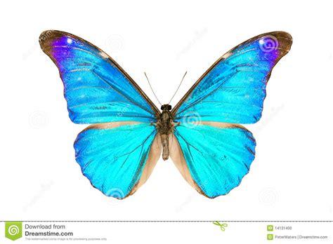 imagenes de mariposas morfo azul mariposa morpho rhetenor eusebes foto de archivo imagen