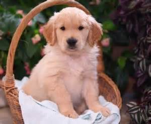 free puppies in vermont dogs vermont free classified ads