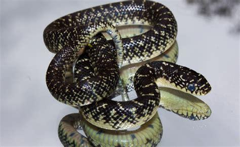 king snake colors kingsnakes by ben dalton stateoftheozarks
