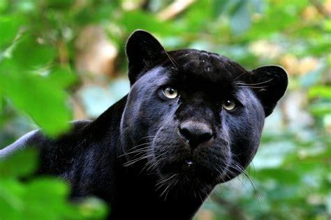 kissh missh black panther