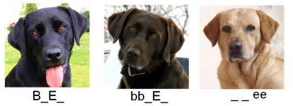 lab colors genetics of labrador retrievers key