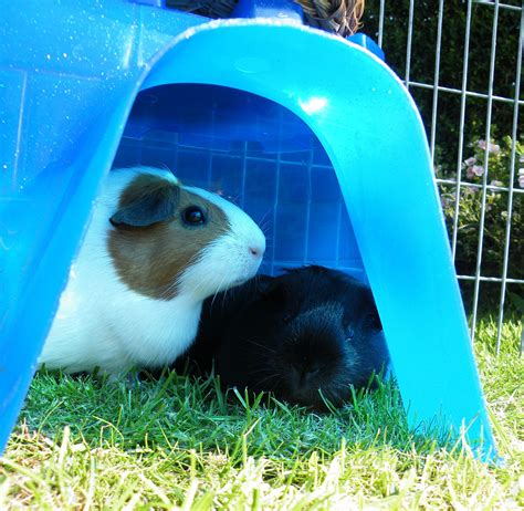 Room Temperature For Guinea Pigs by How Do I Keep Guinea Pigs Healthy In All Weathers