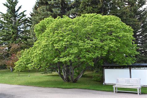 maple tree calgary amur maple acer ginnala in strathmore calgary drumheller okotoks alberta ab at eagle