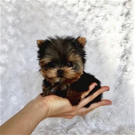 yorkies for sale los angeles micro teacup yorkie puppy for sale los angeles breeder iheartteacups