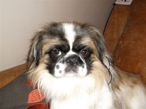 shih tzu with black mask stunning gold with black mask kc reg shih tzu cardiff cardiff pets4homes