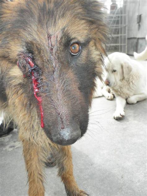 cadena para perro alemana yaiza perrita muy maltratada 161 161 161 traigo muy buenas