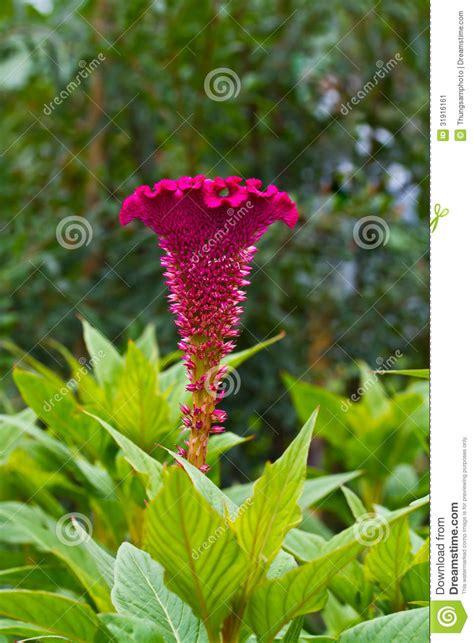 fiore cresta di gallo fiore piumato della cresta di gallo immagine stock