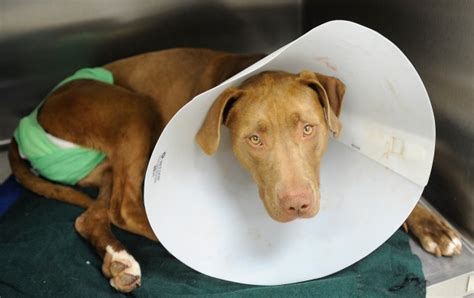 neutering a puppy traumatized after botched neutering attempt