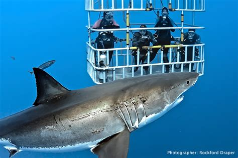 dive shark shark diving dive discovery