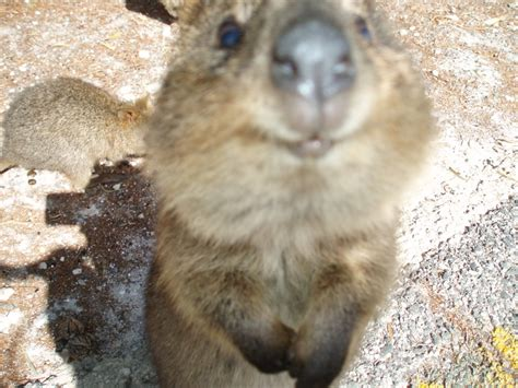 quoka sofa 24 best images about quokka on posts small