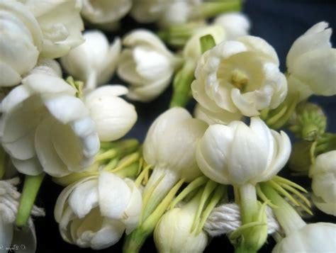 wallpaper bunga es gambar bunga melati indah dan wangi studio gambar lucu