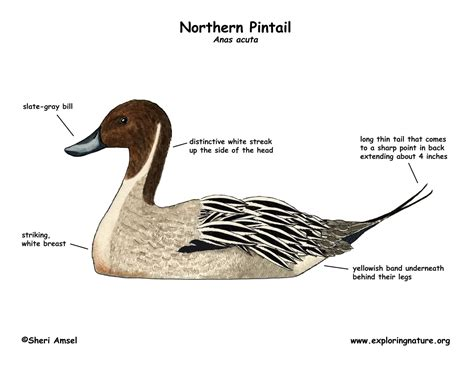 duck diagram duck northern pintail