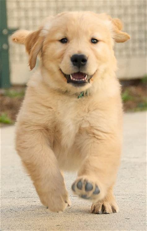 golden retriever puppy running golden retriever puppy running liam at eight weeks scattered1 flickr