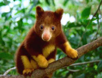 tree kangaroo | cute n tiny
