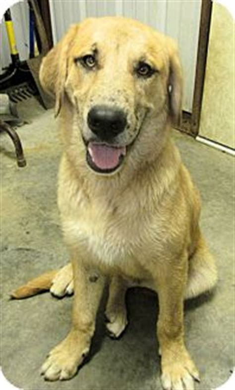 great dane mixed with golden retriever maverick pending adopted puppy westport ct golden retriever great dane mix
